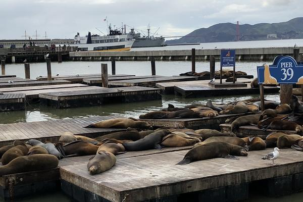 Californian sea lions in San Francisco